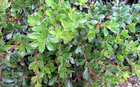 Bärentraube (Pflanze)