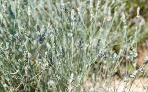 Speicklavendel (Pflanze)