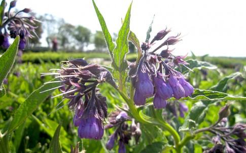 Beinwell (Wilder Comfrey) (Pflanze)