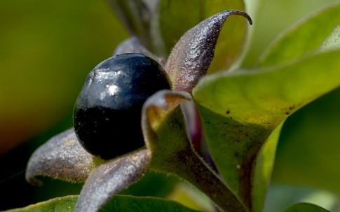 Tollkirsche, schwarzfrüchtig (Pflanze)
