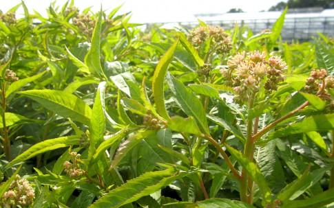 Sumpfdickblatt (Pflanze)