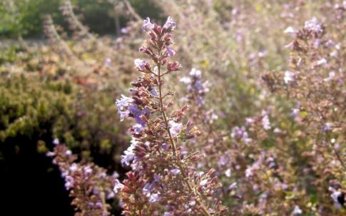 Bergminze (Pflanze)