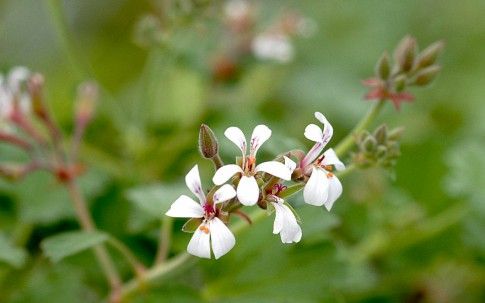Muskatnußgeranie (Pflanze)