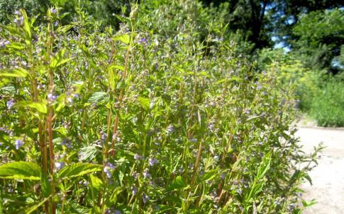 Virginisches Helmkraut (Pflanze)