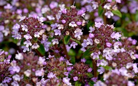 Bergamotte-Thymian (Pflanze)
