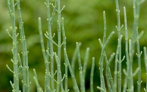 Ausdauernder Queller (Pflanze)