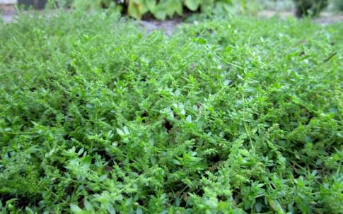 Bruchkraut (Pflanze)