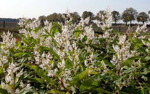 Flieder-Knöterich (Pflanze)