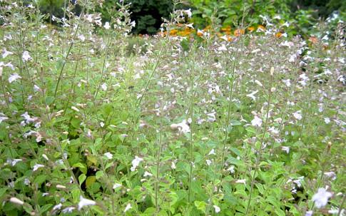 Römische Minze (Pflanze)