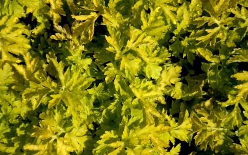 Mutterkraut, golden (Pflanze)