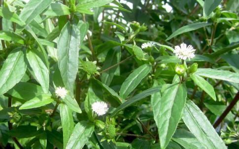 Mo-Han-Lian (Pflanze)
