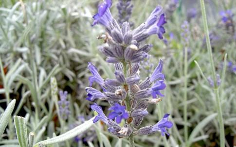 Lavendel 'Moroccan' (Pflanze)