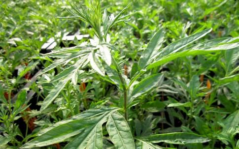 Ligurischer Beifuß (Pflanze)