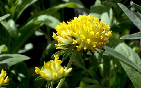 Wundklee (Pflanze)