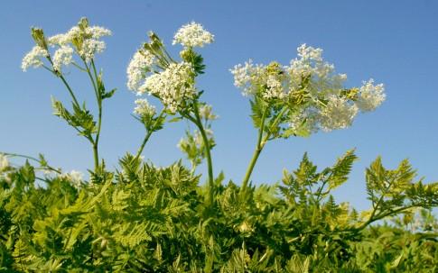 Süßdolde (Myrrhenkerbel) (Pflanze)