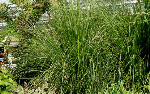 Vetiver (Pflanze)
