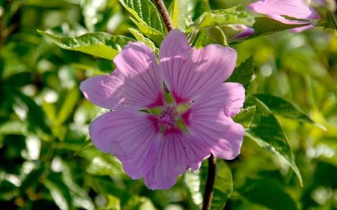 Strauchmalve 'Barnsley' (Pflanze)