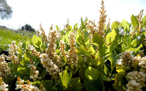 Duft-Knöterich (Pflanze)