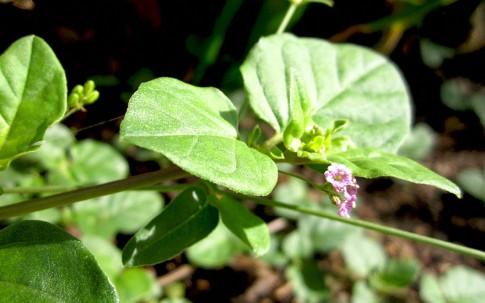 Punarnava (Pflanze)