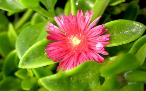 Eiskraut, ausdauernd (Pflanze)