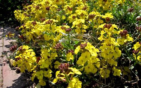 Duft-Schöterich (Duft-Goldlack) (Pflanze)