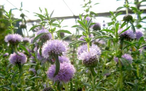 Cervinaminze (Pflanze)