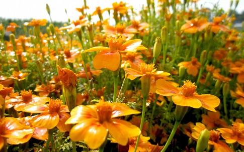 Gewürztagetes 'Orange Gem' (Pflanze)