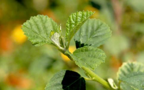 Sidakraut (Pflanze)