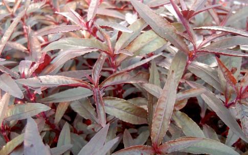Mukunu-Wenna, rot (Pflanze)