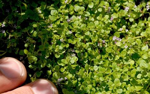 Korsische Minze (Pflanze)