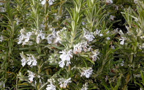 Rosmarin 'Veitshöchheim' (Pflanze)
