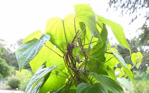Wilde Yamswurzel (Pflanze)