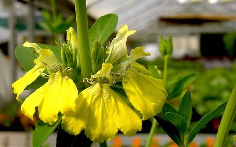 Afrikanische Federblume (Pflanze)