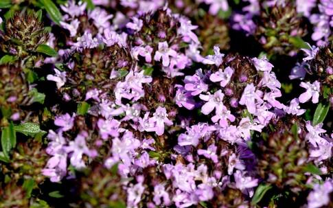 Kümmelthymian (Pflanze)