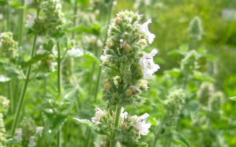 Weiße Melisse (Pflanze)