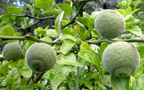 Dreiblättrige Zitrone (Pflanze)