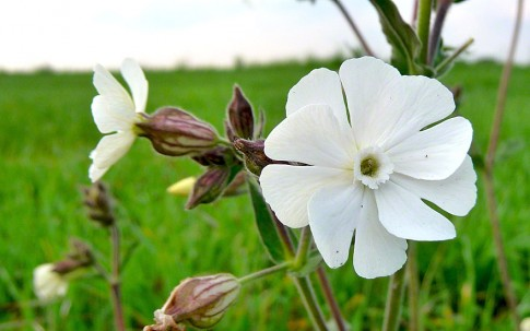 Weiße Lichtnelke (Saatgut)