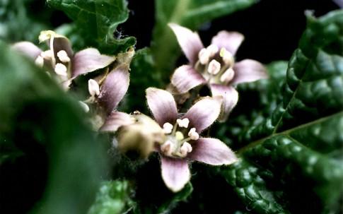 Alraune, herbstblühend (Pflanze)