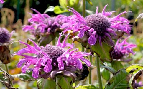 Goldmelisse 'Trinity Purple' (Pflanze)