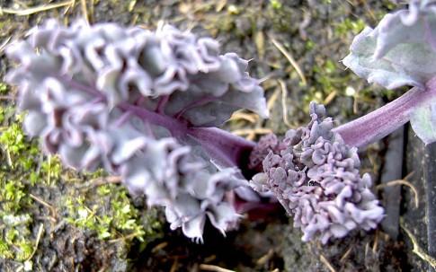 Meerkohl, purpur (Pflanze)