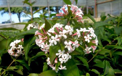 Koreanische Abelie (Pflanze)