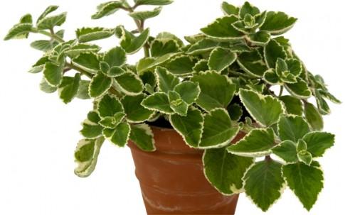 Jamaicathymian, weißbunt (Pflanze)