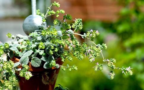 Kreta-Majoran (Pflanze)
