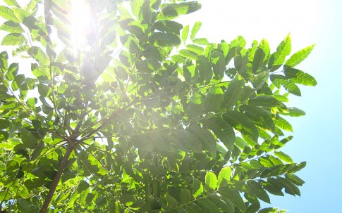 Chinesischer Gemüsebaum (Pflanze)