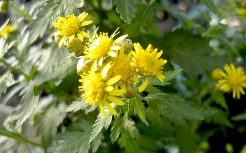 Nanking-Chrysantheme (Pflanze)