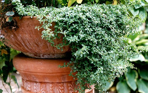 Teppichpoleiminze (Pflanze)