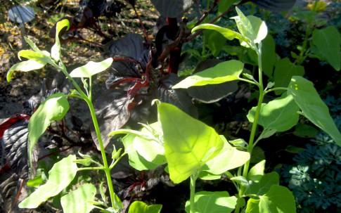 Gartenmelde, golden (Saatgut)