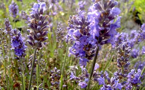 Lavendel 'Two Seasons' (Pflanze)