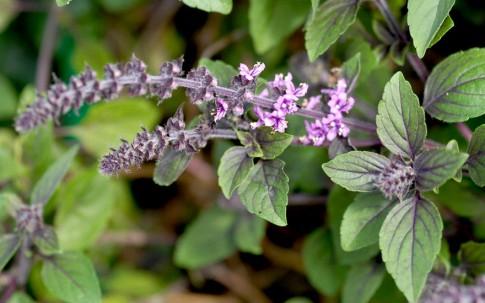 Basilikum 'African Blue' (Pflanze)