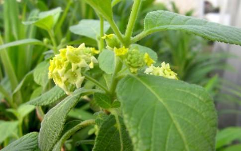 Anis-Verbene (Pflanze)
